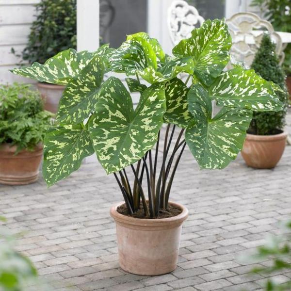 elefantenohr pflanze im garten topfpflanzen blattwerk