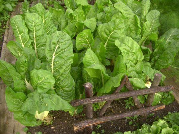 gemüse und wintergarten pflanzen frisches salat