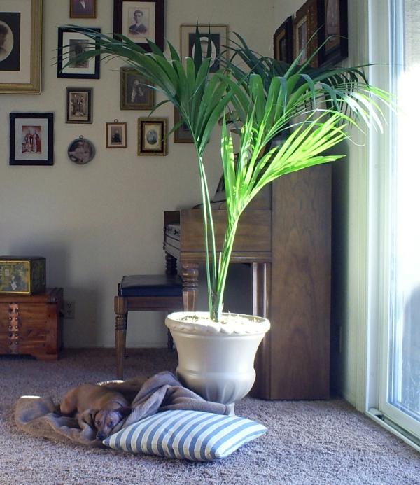 Palme Für Drinnen kentia palme exotisch und populär