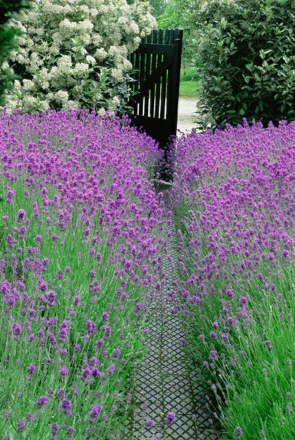 lavendel wirkung gartenpflanze