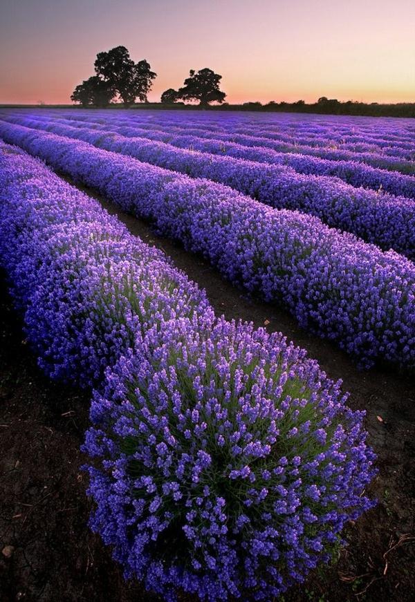 Lavendel wirkung und einsatzbereiche wissenswertes und tipps - Lavendel zimmerpflanze ...