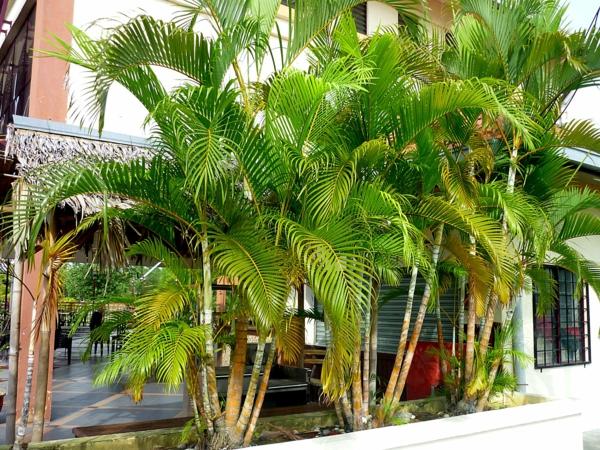 palmenarten goldfruchtpalme palme pflege riesengroß