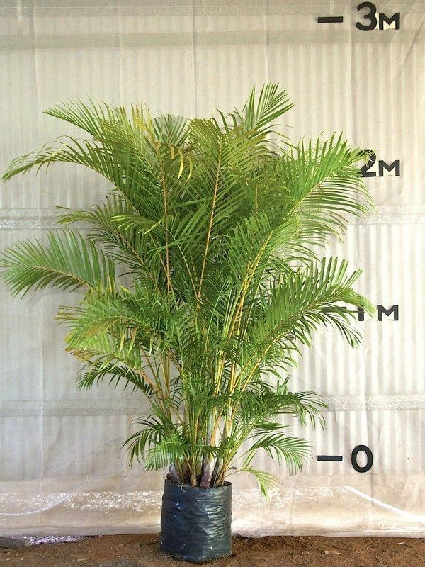 palmenarten goldfruchtpalme palme pflege zimmerpalmen größe