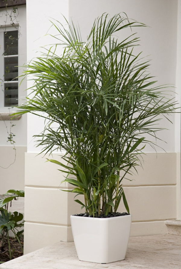 palmenarten goldfrucht palme palme pflege zimmerpalmen