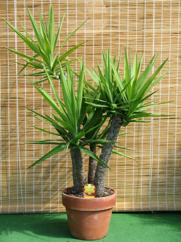 yucca bambusrollo