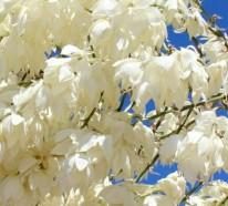 Palmlilie – eine bezaubernde Zier- und Nutzpflanze