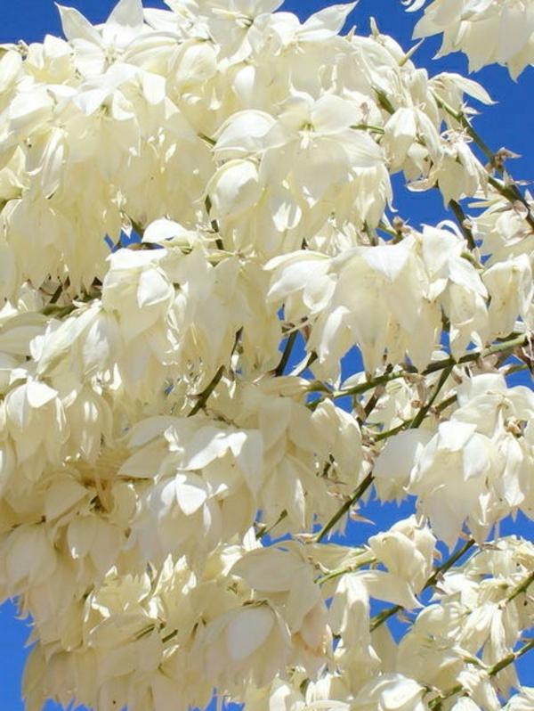 yucca blüten weiß