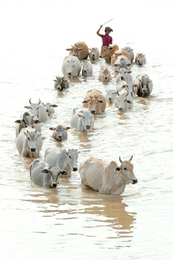 reisen nach indien indienreise indische kultur kühe