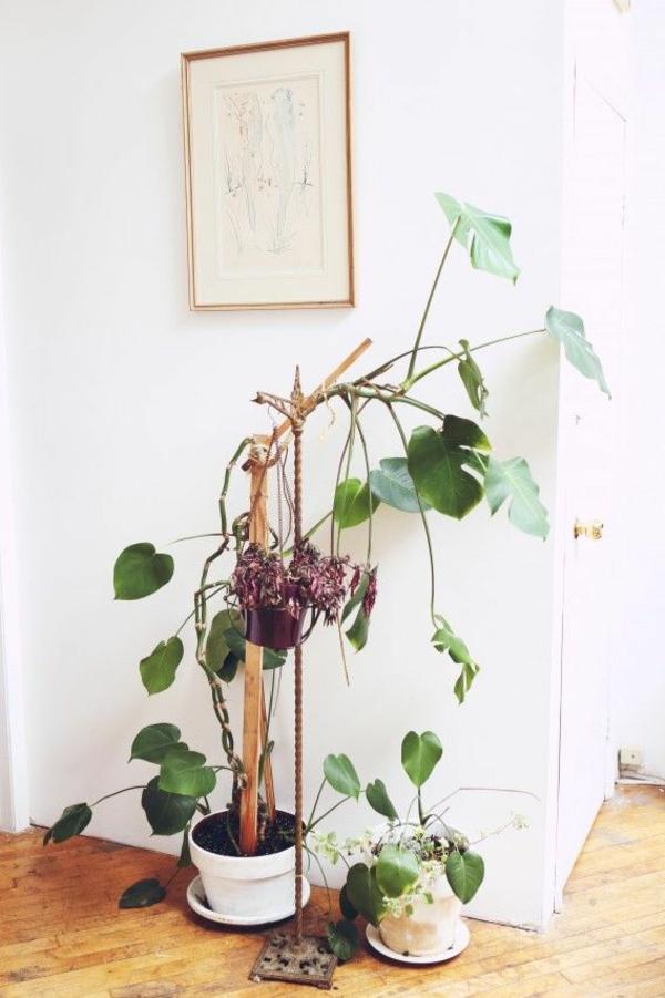 schöne zimmerpflanzen pflegeleicht bilder köstliches fensterblatt