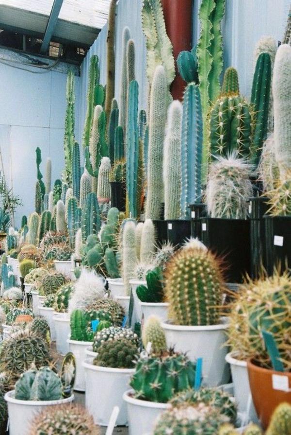 schöne zimmerpflanzen bilder kakteen kaktus bestimmen