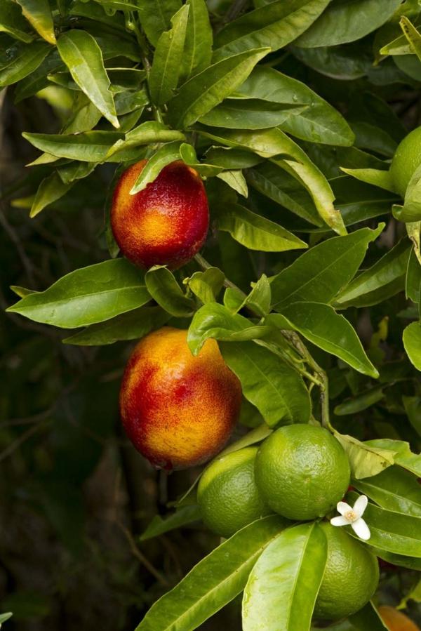 wintergarten pflanzen zitronenbaum orangenbaum