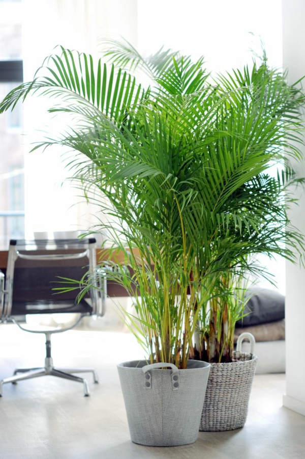 zimmerpalmen arten goldfruchtpalme im office palme pflege