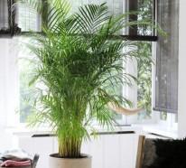 zimmerpalmen arten pflege tipps. Black Bedroom Furniture Sets. Home Design Ideas