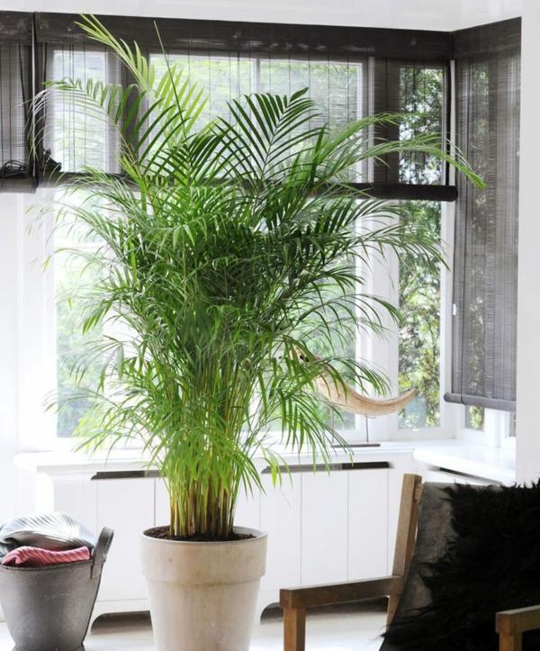 zimmerpalmen arten goldfruchtpalme palme pflege