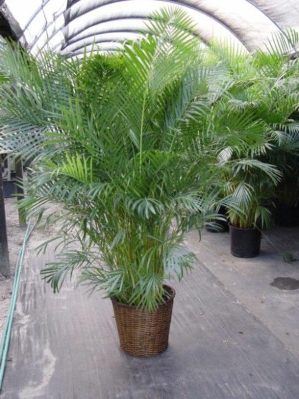 wohnzimmer palme pflege:Tipps für die richtige Pflege der Goldfruchtpalme