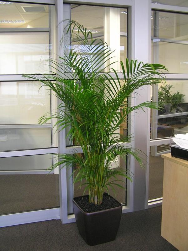 zimmerpalmen palmenarten goldfruchtpalme im office palme pflege
