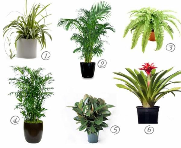 zimmerpflanzen zimmerpalmen arten goldfrucht palme pflanzenarten