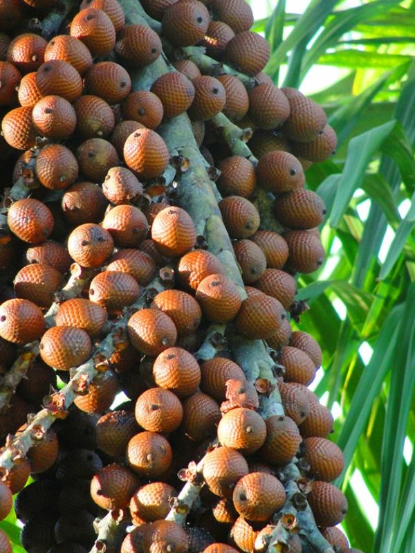 exotische früchte aguajefrucht