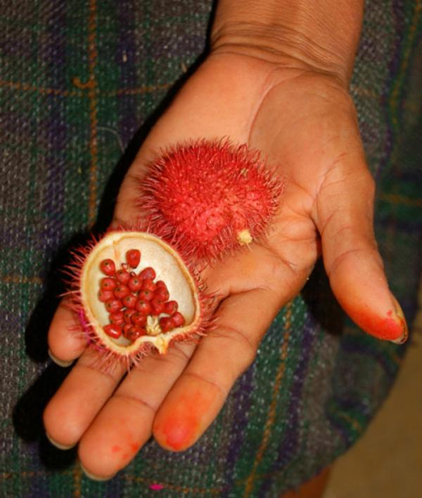 exotisches obst annattostrauch achiote