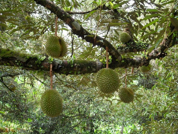 exotisches obst durian stinkfrucht