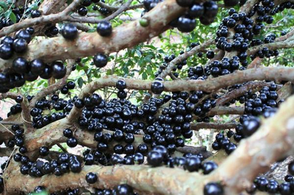 exotische früchte plinia cautiflora jaboticaba