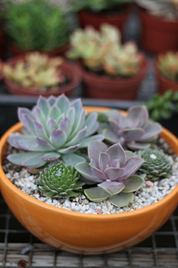 pflegeleichte Balkonpflanzen sukkulenten