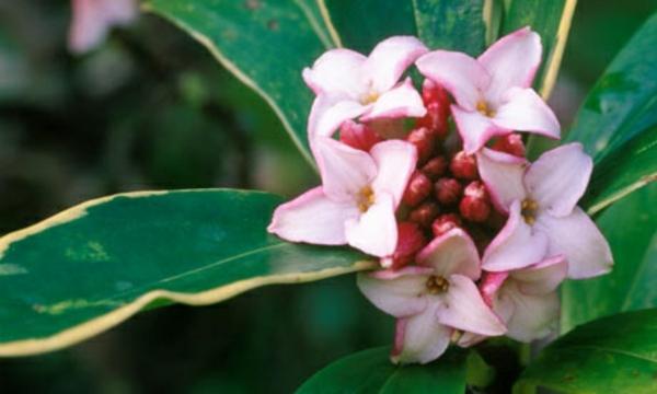 Daphne Odora Aureomargina garten pflanzen