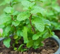 Heilpflanzen und Ihre Wirkung – 10 beliebte Gewürz- und Heilpflanzen