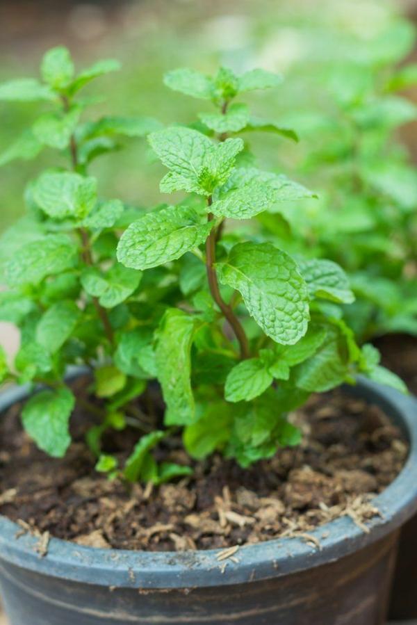 Gewürz und Heilpflanze Minze pflegen kräutergarten