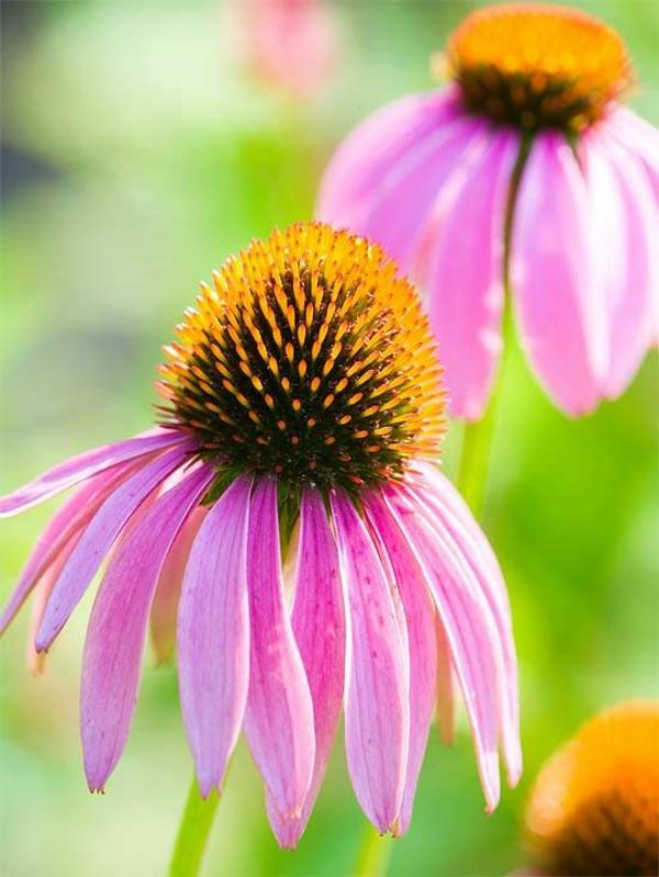 Gewürz und Heilpflanze kräutergarten gartenpflanzen sonnenhut pflanze