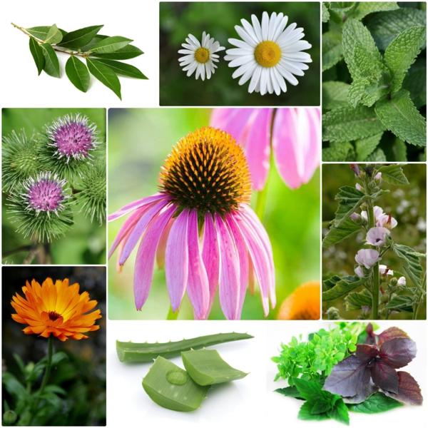 Gewürz und Heilpflanze kräutergarten gewürze heilende pflanzen