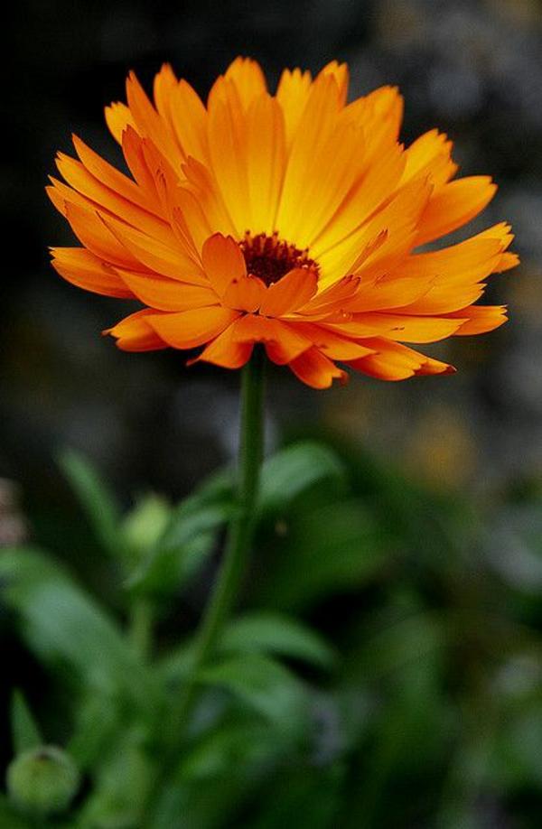 Gewürz und Heilpflanze kräutergarten ringelblümen blüte