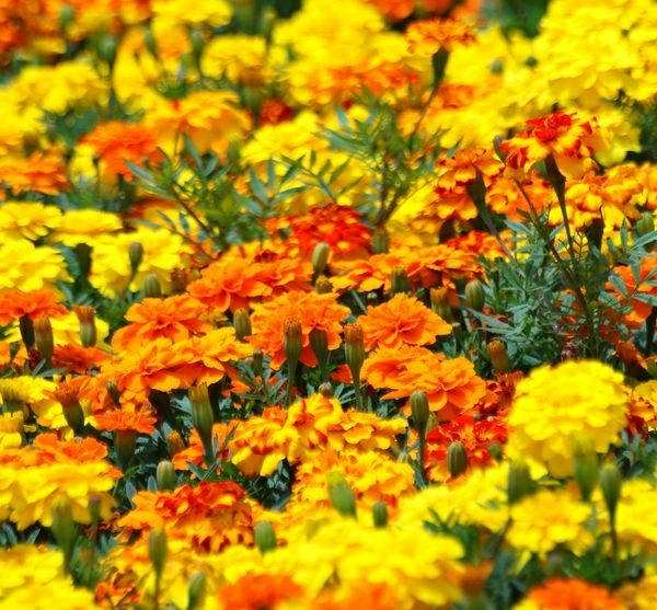 Gewürz Heilpflanzen kräutergarten ringelblümen feld blüten