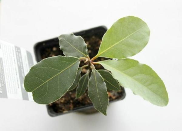 Gewürz und Heilpflanze kräutergarten topfpflanzen lorbeerblatt