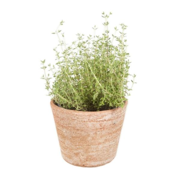 Gewürz und Heilpflanze thymian zimmerpflanze kräutergarten