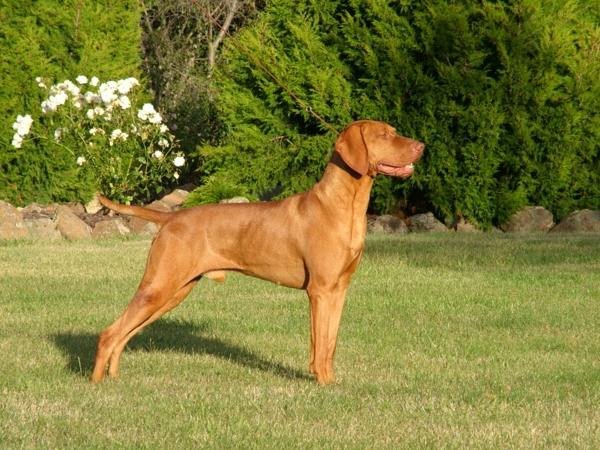 Hungarian Vizsla hunderasse haustiere hunden