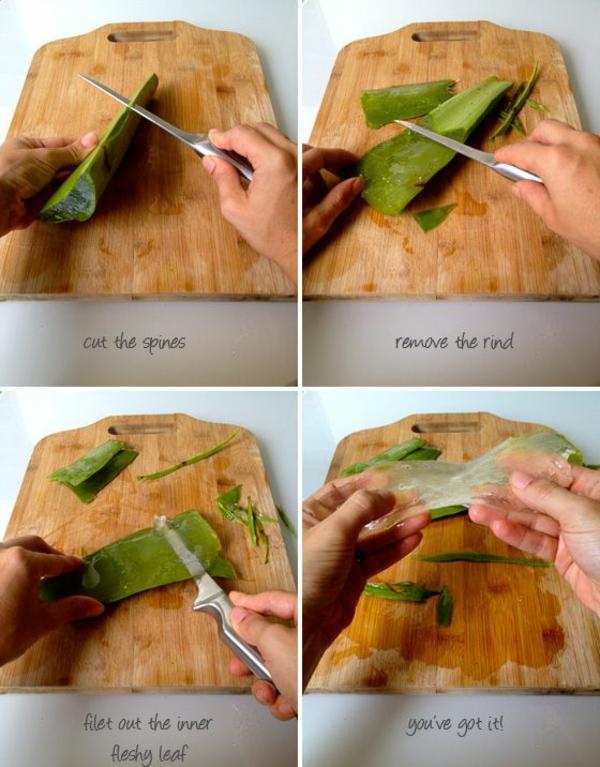 Kakteen Arten aloe vera topfpflanzen heilpflanze schneiden