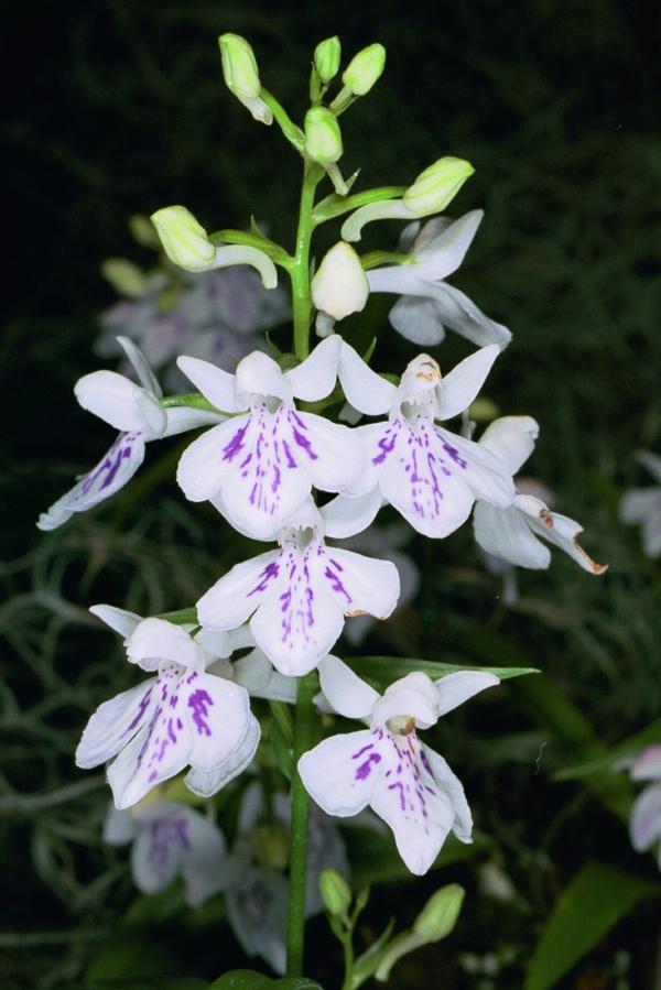 Ponerorchis graminifolia orchidee  weiße blüte lila färbung