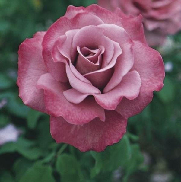 tipps zur rosenpflege bers jahr wie pflegt man die. Black Bedroom Furniture Sets. Home Design Ideas