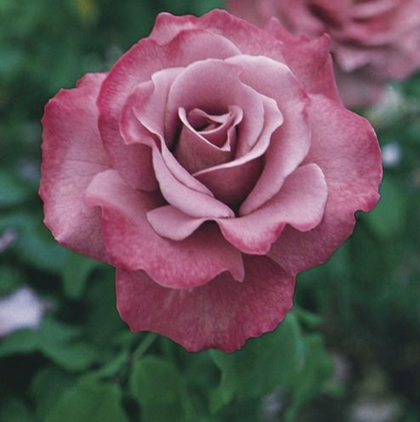 Rosen Pflanzen Rosen Düngen Rosenpflege Frühlingsblumen