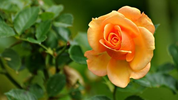 Rosen Pflanzen Rosen Düngen Rosenpflege gartenkalender gartenarbeit