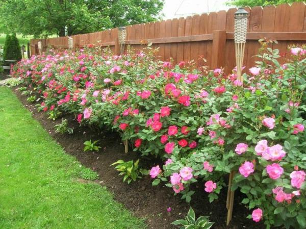 Rosen Pflanzen Rosen Düngen Rosenpflege gartenpflanzen