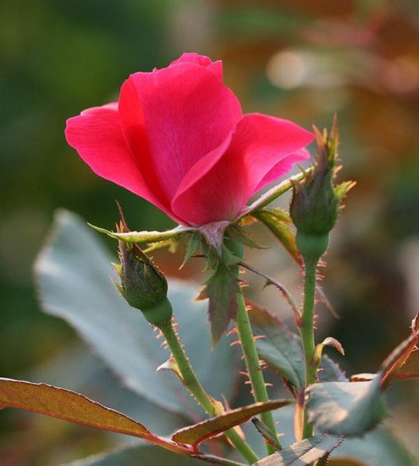 Rosen Pflanzen Rosen Düngen Rosenpflege winter blumen