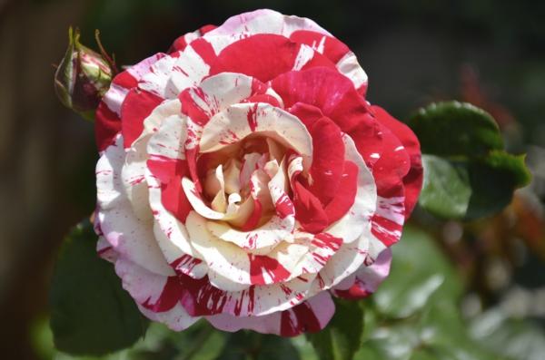 Rosen gartenpflanzen gießen Düngen Rosenpflege gartenkalender
