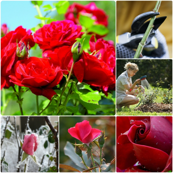 Rosen gartenpflanzen gießen Rosen Düngen Rosenpflege rosen rückschnitt gartenkalender