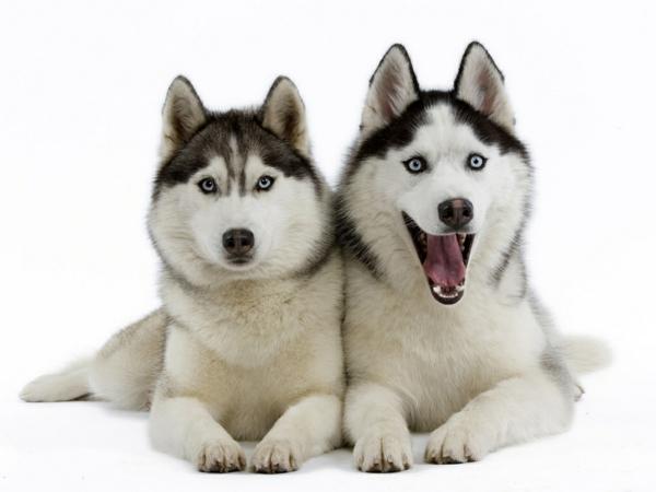 Siberian Husky hunde tiere lifestyle