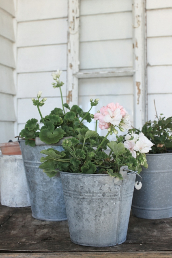 Zimmerpflanze schattig Geranie blühende zimmerpflanzen pflegeleicht gartenpflanzen