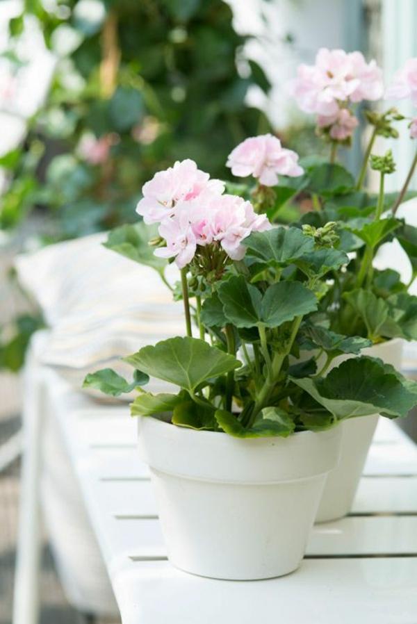 Zimmerpflanze schattig Geranie blühende zimmerpflanzen pflegeleicht
