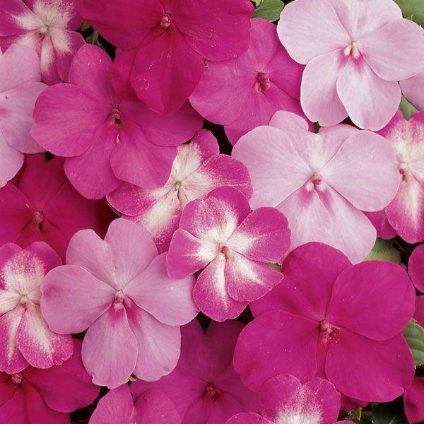Zimmerpflanze schattig Springkräuter Impatiens blühende zimmerpflanzen pflegeleicht