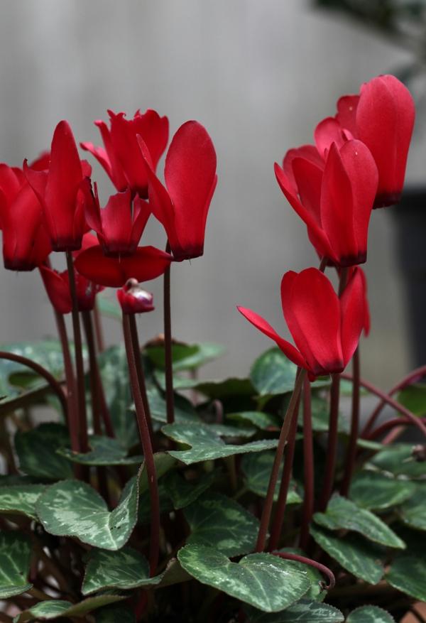 alpenveilchen rot blumen bedeutung pflanzen
